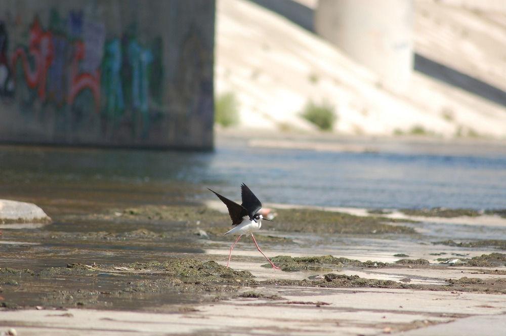 A shorebird on a stretch of the LA River encased in concrete. Photo via kcet.org.