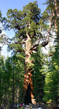 """Being a main attraction in Yosemite National Park certainly makes one a very famous tree: The """"Grizzly Giant"""" is a landmark ancient Giant redwood. (Photo: Mike Murphy; Image via Wikipedia)"""