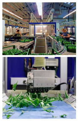 Hybrid Workscapes: Emergent Infrastructures of Automation and Co-production in Horticultural Production