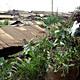Garden-in-a-Sack: Solidarités International. Funders: European Union and Agence Française de Développement. Kibera, Mathare, Kiambiu, and Mukuru Lunga-Lunga informal settlements, Nairobi, Kenya, 2008-present. Photo: © Solidarités International